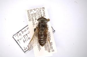 (Tabanus quinquepunctatus - INBIOCRI000195936)  @11 [ ] Copyright (2012) M. Zumbado Instituto Nacional de Biodiversidad
