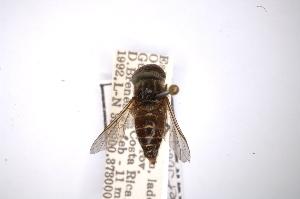 (Tabanus quinquepunctatus - INBIOCRI000482313)  @11 [ ] Copyright (2012) M. Zumbado Instituto Nacional de Biodiversidad