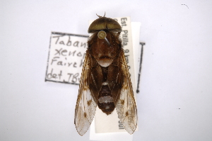 (Tabanus xenorhynchus - INBIOCRI001154161)  @11 [ ] Copyright (2012) M. Zumbado Instituto Nacional de Biodiversidad