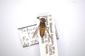 (Tabanus enanus - INBIOCRI001174115)  @12 [ ] Copyright (2012) M. Zumbado Instituto Nacional de Biodiversidad