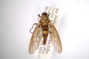 (Chiromyzinae - INBIOCRI001203334)  @13 [ ] Copyright (2012) M. Zumbado Instituto Nacional de Biodiversidad