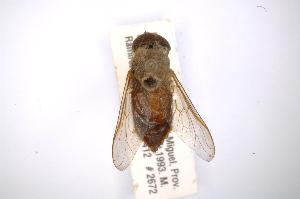 (Tabanus pseudoculus - INBIOCRI001726428)  @11 [ ] Copyright (2012) M. Zumbado Instituto Nacional de Biodiversidad