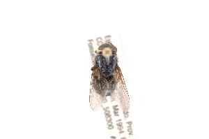 (Cochliomyia hominivorax - INBIOCRI001755881)  @13 [ ] Copyright (2012) J. Vargas Instituto Nacional de Biodiversidad