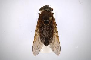 (Tabanus defilippii - INBIOCRI001833438)  @14 [ ] Copyright (2012) M. Zumbado Instituto Nacional de Biodiversidad