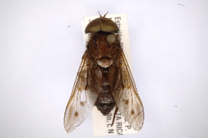 (Tabanus xenorhynchus - INBIOCRI001837062)  @11 [ ] Copyright (2012) M. Zumbado Instituto Nacional de Biodiversidad