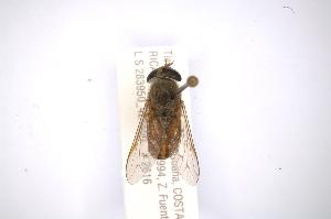 (Tabanus secundus - INBIOCRI001972626)  @14 [ ] Copyright (2012) M. Zumbado Instituto Nacional de Biodiversidad