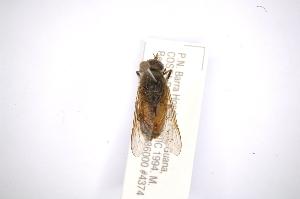 (Tabanus commixtus - INBIOCRI002177669)  @14 [ ] Copyright (2012) M. Zumbado Instituto Nacional de Biodiversidad