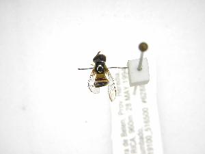 ( - INBIOCRI002435076)  @13 [ ] Copyright (2012) M. Zumbado Instituto Nacional de Biodiversidad