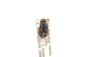 (Cochliomyia hominivorax - INBIOCRI002602833)  @13 [ ] Copyright (2012) J. Vargas Instituto Nacional de Biodiversidad