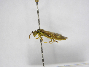 (Agelaia yepocapa - INB0003046697)  @13 [ ] Copyright (2012) Braulio Hernandez Instituto Nacional de Biodiversidad