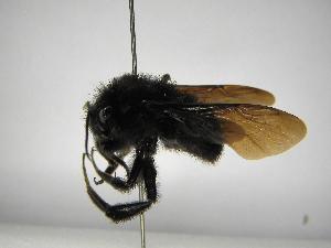 (Bombus pullatus - INB0003050043)  @14 [ ] Copyright (2012) Braulio Hernandez Instituto Nacional de Biodiversidad