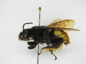 (Epicharis - INB0003056284)  @15 [ ] Copyright (2012) Braulio Hernandez Instituto Nacional de Biodiversidad