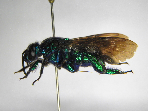 (Exaerete - INB0003084669)  @15 [ ] Copyright (2012) Braulio Hernandez Instituto Nacional de Biodiversidad