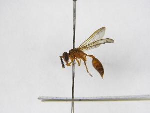 (Polybia bistriata - INB0003118855)  @13 [ ] Copyright (2012) Braulio Hernandez Instituto Nacional de Biodiversidad