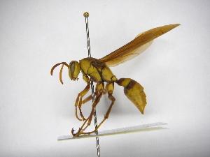 (Polistes major major - INB0003131602)  @14 [ ] Copyright (2012) Braulio Hernandez Instituto Nacional de Biodiversidad