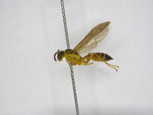 (Agelaia melanopyga - INB0003141994)  @13 [ ] Copyright (2012) Braulio Hernandez Instituto Nacional de Biodiversidad