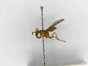 (Polybia nidulatrix - INB0003318940)  @13 [ ] Copyright (2012) Braulio Hernandez Instituto Nacional de Biodiversidad