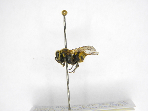 (Brachygastra smithii - INB0003329255)  @13 [ ] Copyright (2012) Braulio Hernandez Instituto Nacional de Biodiversidad