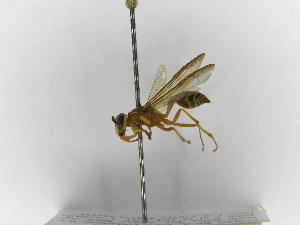 (Polybia nidulatrix - INB0003364395)  @13 [ ] Copyright (2012) Braulio Hernandez Instituto Nacional de Biodiversidad