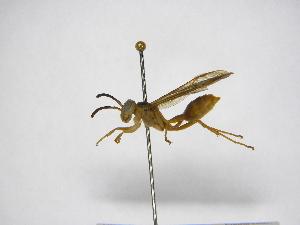 (Agelaia centralis - INB0003373297)  @13 [ ] Copyright (2012) Braulio Hernandez Instituto Nacional de Biodiversidad
