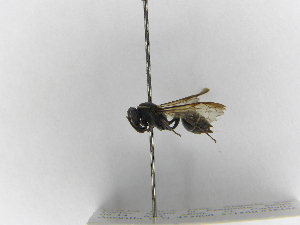 (Polybia occidentalis bohemani - INB0003373307)  @13 [ ] Copyright (2012) Braulio Hernandez Instituto Nacional de Biodiversidad