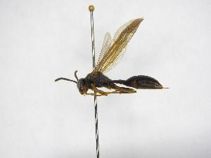 (Agelaia xanthopus melanotica - INB0003373380)  @11 [ ] Copyright (2012) Braulio Hernandez Instituto Nacional de Biodiversidad