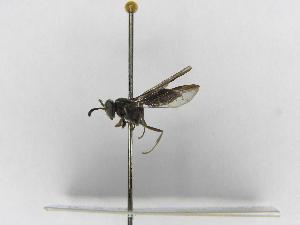 (Polybia bribri - INB0003373586)  @14 [ ] Copyright (2012) Braulio Hernandez Instituto Nacional de Biodiversidad