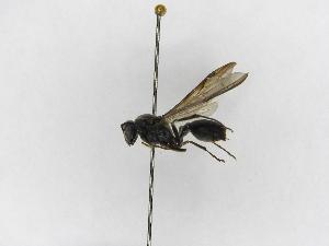 (Polybia raui raui - INB0003373663)  @13 [ ] Copyright (2012) Braulio Hernandez Instituto Nacional de Biodiversidad