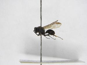 (Polybia bifasciata - INB0003374250)  @13 [ ] Copyright (2012) Braulio Hernandez Instituto Nacional de Biodiversidad