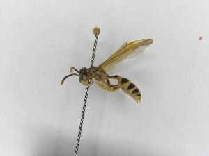 (Polybia emaciata - INB0003374598)  @11 [ ] Copyright (2012) Braulio Hernandez Instituto Nacional de Biodiversidad