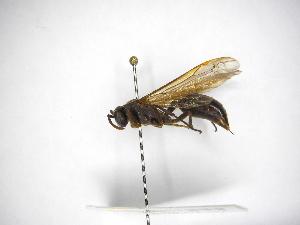 (Agelaia panamaensis - INB0003374762)  @11 [ ] Copyright (2012) Braulio Hernandez Instituto Nacional de Biodiversidad