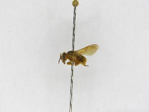 (Scaptotrigona - INB0003412061)  @13 [ ] Copyright (2012) Braulio Hernandez Instituto Nacional de Biodiversidad