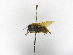 ( - INB0003457375)  @11 [ ] Copyright (2012) Braulio Hernandez Instituto Nacional de Biodiversidad