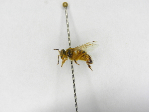 (Tetragona - INB0003495193)  @13 [ ] Copyright (2012) Braulio Hernandez Instituto Nacional de Biodiversidad