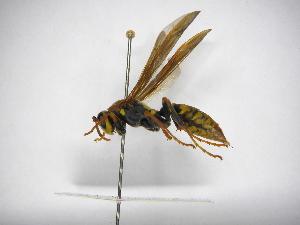 (Polistes myersi - INB0003756747)  @14 [ ] Copyright (2012) Braulio Hernandez Instituto Nacional de Biodiversidad