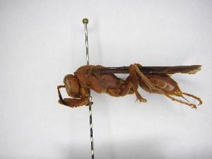 (Polistes canadensis - INB0003930067)  @14 [ ] Copyright (2012) Braulio Hernandez Instituto Nacional de Biodiversidad