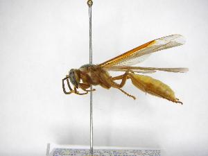 (Apoica pallens - INB0003947015)  @14 [ ] Copyright (2012) Braulio Hernandez Instituto Nacional de Biodiversidad