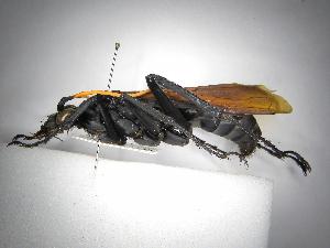 (Pepsis tricuspidata - INB0003978186)  @11 [ ] Copyright (2012) Braulio Hernandez Instituto Nacional de Biodiversidad
