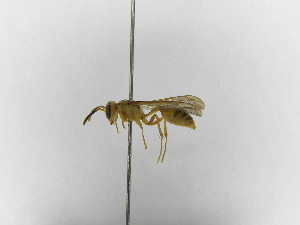 (Polybia selvana - INB0003978915)  @11 [ ] Copyright (2012) Braulio Hernandez Instituto Nacional de Biodiversidad