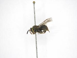 (Chartergellus atectus - INB0003987659)  @13 [ ] Copyright (2012) Braulio Hernandez Instituto Nacional de Biodiversidad
