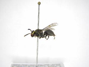 (Chartergellus atectus - INB0003987660)  @13 [ ] Copyright (2012) Braulio Hernandez Instituto Nacional de Biodiversidad