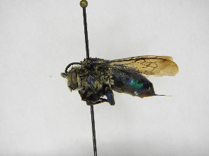 (Ctenioschelus - INB0004086562)  @11 [ ] Copyright (2012) Braulio Hernandez Instituto Nacional de Biodiversidad