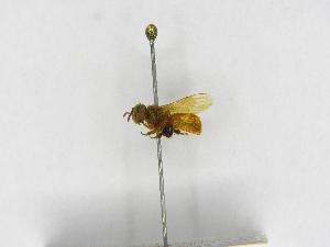 (Tetragona - INB0004119312)  @13 [ ] Copyright (2012) Braulio Hernandez Instituto Nacional de Biodiversidad