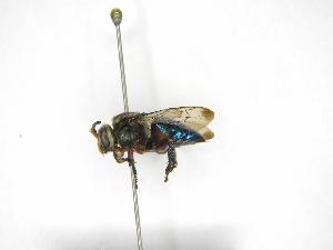 (Ctenioschelus - INB0004175169)  @11 [ ] Copyright (2012) Braulio Hernandez Instituto Nacional de Biodiversidad