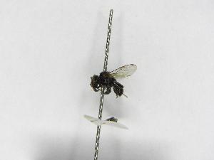 (Scaura - INB0004185928)  @12 [ ] Copyright (2012) Braulio Hernandez Instituto Nacional de Biodiversidad