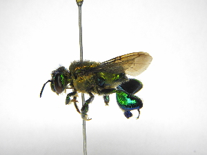 (Euglossa - INB0004242418)  @16 [ ] Copyright (2012) Braulio Hernandez Instituto Nacional de Biodiversidad