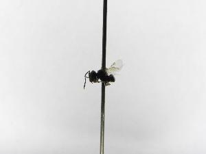 (Dolichotrigona - INB0004291034)  @11 [ ] Copyright (2012) Braulio Hernandez Instituto Nacional de Biodiversidad
