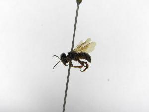 (Lestrimelitta - INB0004298384)  @12 [ ] Copyright (2012) Braulio Hernandez Instituto Nacional de Biodiversidad