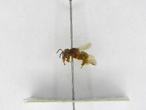 (Scaptotrigona - INB0004301688)  @13 [ ] Copyright (2012) Braulio Hernandez Instituto Nacional de Biodiversidad