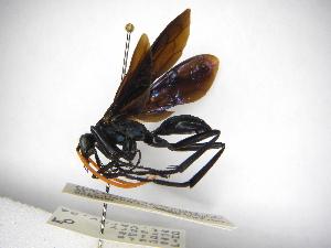 (Pepsis lepida - INBIOCRI000085052)  @11 [ ] Copyright (2012) Braulio Hernandez Instituto Nacional de Biodiversidad